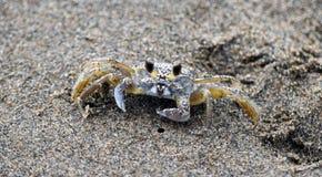 Cangrejo en la playa de Tecolutla (México) Foto de archivo libre de regalías