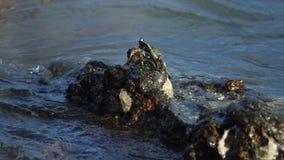 Cangrejo en la roca en la playa almacen de metraje de vídeo