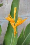 Cangrejo floreciente, Fotografía de archivo
