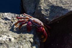 Cangrejo legged rojo moro (adscensionis) de Grapsus, un campo común crustáceo de Gran Canaria, islas Canarias, España foto de archivo libre de regalías