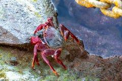 Cangrejo legged rojo moro (adscensionis) de Grapsus, un campo común crustáceo de Gran Canaria, islas Canarias, España imagen de archivo libre de regalías