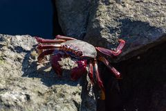 Cangrejo legged rojo moro (adscensionis) de Grapsus, un campo común crustáceo de Gran Canaria, islas Canarias, España fotos de archivo