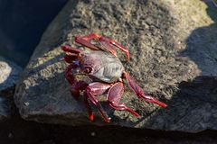 Cangrejo legged rojo moro (adscensionis) de Grapsus, un campo común crustáceo de Gran Canaria, islas Canarias, España fotografía de archivo libre de regalías