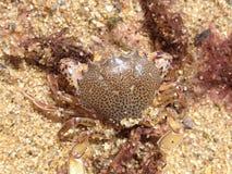 cangrejo Leopardo-manchado en la playa Imágenes de archivo libres de regalías