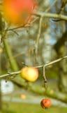 Cangrejo-manzana fotografía de archivo libre de regalías