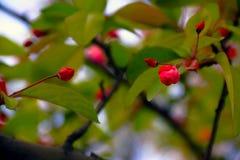 Cangrejo-manzana floreciente china Imagenes de archivo