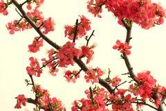 Cangrejo-manzana floreciente china Fotografía de archivo libre de regalías