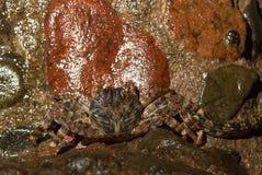 Cangrejo mojado del mar en la piedra en la noche Imagen de archivo libre de regalías