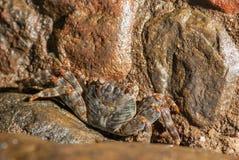 Cangrejo mojado del mar en la piedra en la noche Foto de archivo