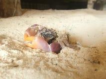 cangrejo muerto machacado foto de archivo