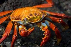 Cangrejo rojo en la roca, islas de las Islas Gal3apagos Imagenes de archivo