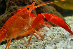 Cangrejo rojo que recorre en el océano Fotografía de archivo