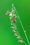 Cangrejo spiderpreying Foto de archivo libre de regalías