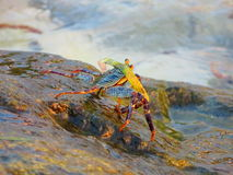 Cangrejo y algas Fotos de archivo libres de regalías