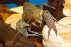 cangrejos foto de archivo libre de regalías