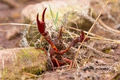 Cangrejos crustáceos Imagen de archivo