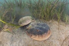 Cangrejos de herradura atlánticos de acoplamiento en Cape Cod foto de archivo
