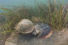 Cangrejos de herradura atlánticos que se acoplan en Cape Cod foto de archivo libre de regalías