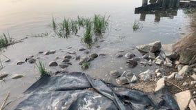 Cangrejos de herradura que acoplan y que ponen la bahía de Delaware de los huevos almacen de video