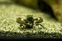 Cangrejos de la señal (leniusculus de Pacifastacus) Fotografía de archivo
