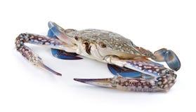 Cangrejos de natación azules en el fondo blanco imagen de archivo libre de regalías