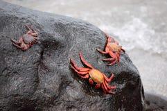 Cangrejos de roca rojos. Imagenes de archivo