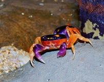 Cangrejos de tierra coloridos Imagen de archivo libre de regalías
