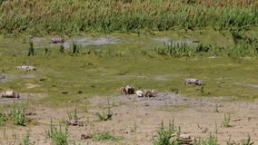 Cangrejos en español el parque natural de Estrecho cerca de Tarifa metrajes