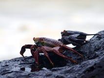 Cangrejos en las islas de las Islas Galápagos Imágenes de archivo libres de regalías