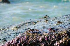 Cangrejos en una roca Los cangrejos tienen un sunbath en una roca cerca del mar Imágenes de archivo libres de regalías