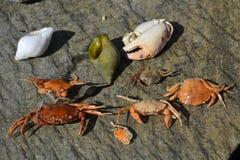 Cangrejos muertos Imagen de archivo libre de regalías