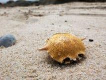 Cangrejos muertos secos en la playa del huahin Imágenes de archivo libres de regalías