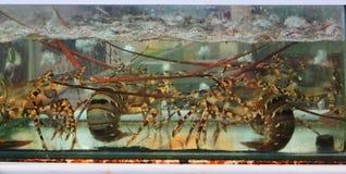 Cangrejos Phuquoc Vietnam de la langosta de los mariscos fotografía de archivo libre de regalías