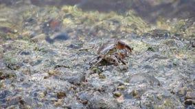 Cangrejos que comen los minerales en rocas almacen de video