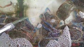Cangrejos que nadan azules frescos almacen de video