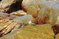 Cangrejos que suben en rocas Fotos de archivo libres de regalías