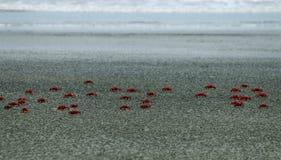Cangrejos rojos Imagenes de archivo