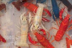 Cangrejos rojos australianos de la garra Fotos de archivo