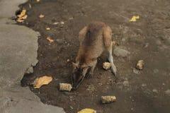 canguri Fotografia Stock