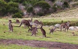 Canguri al tramonto nel parco nazionale di Eurobodalla l'australia immagini stock