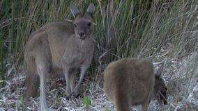 Canguri che mangiano erba al rallentatore nel parco di Le Grand National del capo stock footage