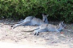 Canguri che riposano nell'ombra fotografia stock