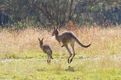 Canguri che saltano via Fotografia Stock