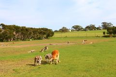 Canguri che vagano liberamente nel campo aperto immagini stock libere da diritti
