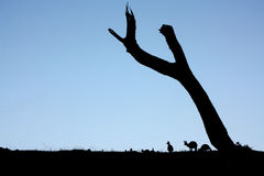 Canguri crepuscolari Fotografie Stock