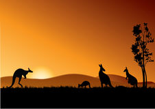Canguri dell'Australia Fotografie Stock