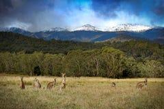 Canguri della montagna di Snowy immagini stock