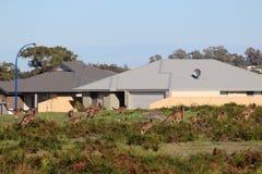 Canguri marroni australiani nel campo accanto all'insediamento Fotografia Stock