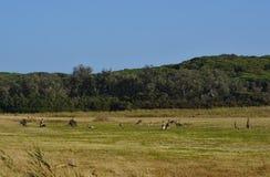 Canguri nel campo di erba fotografia stock