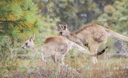 Canguri nel selvaggio fotografia stock